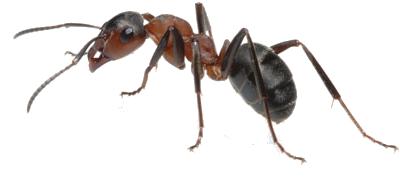 Ants Stockton Pest Control